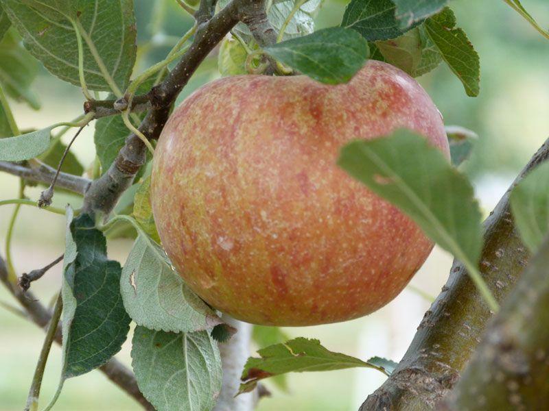 cox orange pippin apple trees