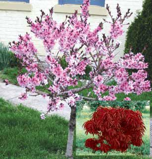 Bonfire ornamental peach flowering trees stark bro 39 s for Small dwarf ornamental trees