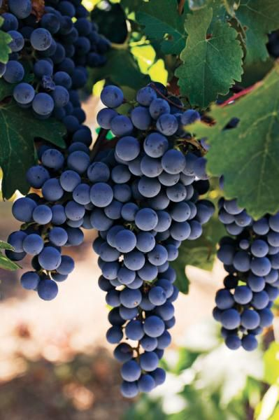 Thomcord Seedless Grape