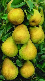 Starking® Delicious™ Pear Dwarf Supreme