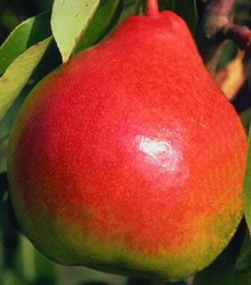 Moonglow Pear Dwarf Supreme
