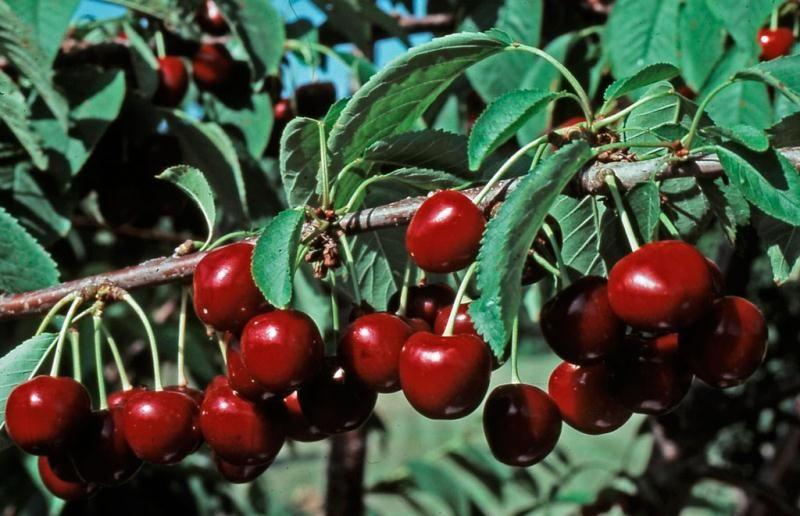 Stella Sweet Cherry Semi-Dwarf Supreme