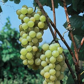 Golden muscat grape grape vines stark bro 39 s for Table grapes zone 6