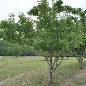 Dwarf Pear Trees From Stark Bro S Dwarf Pear Trees For Sale