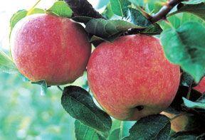 Stark® GrandGala™ Apple Dwarf Supreme