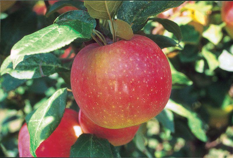Zestar   174  AppleZestar Apple Tree