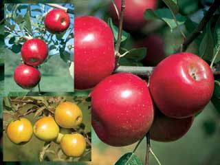 Disease Resistant Apple Assortment